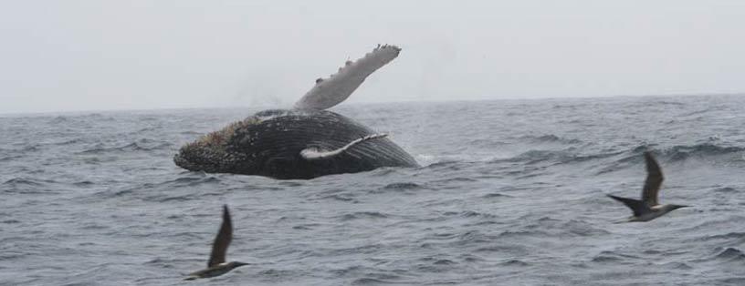 ballenas-puerto-lopez