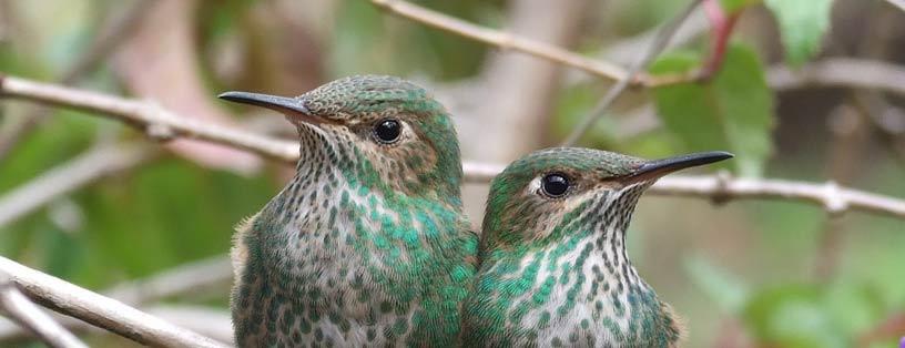 colibrie-ecuador