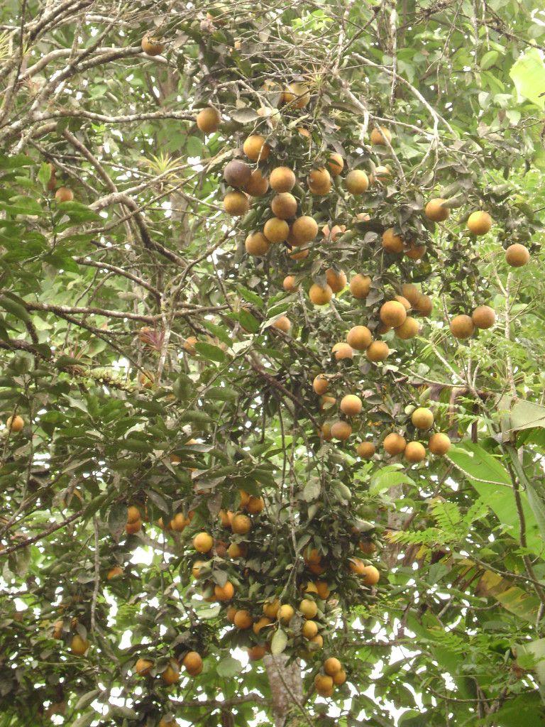 naranja-de-caluma